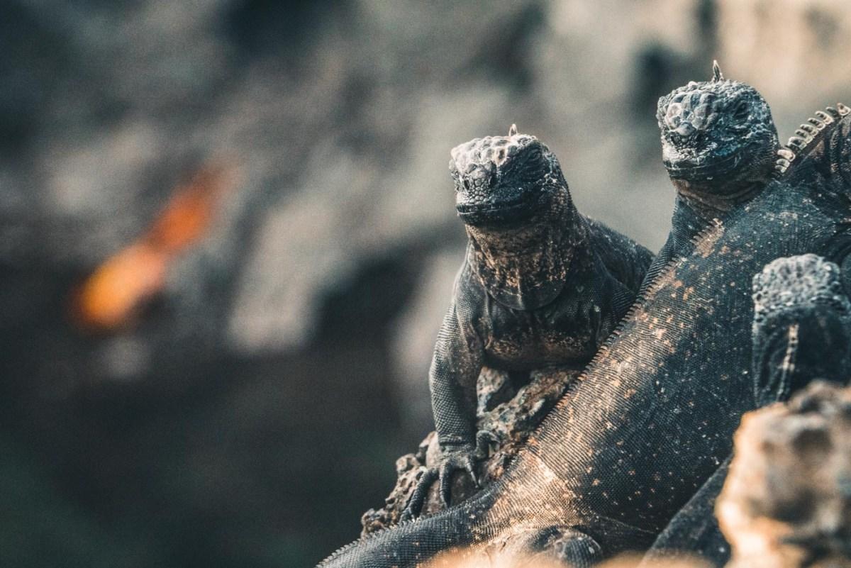 Baby marine iguanas on Isabela Island
