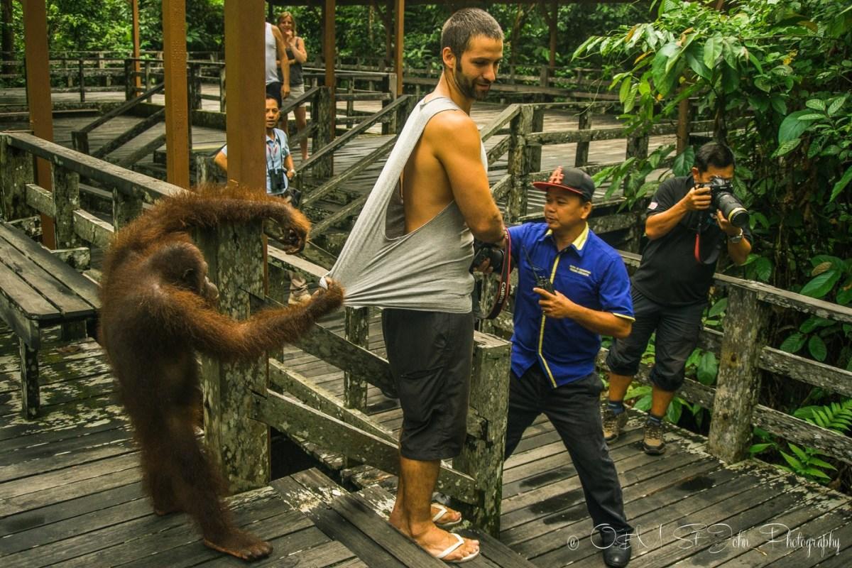 Orang utan pulls on Max's shirt at the Sepilok Orangutan Rehabilitation Centre. Sabah. Malaysian Borneo