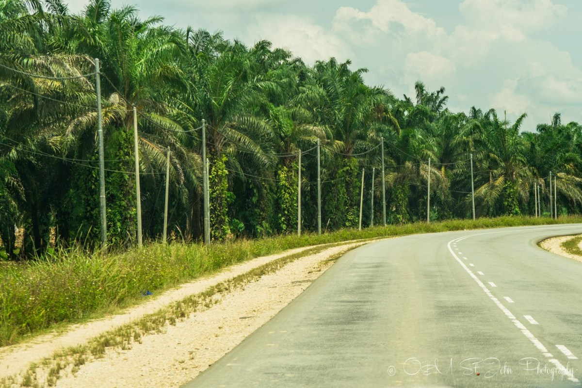 Palm oil plantation en route to Kinabatangan. Sabah. Malaysian Borneo