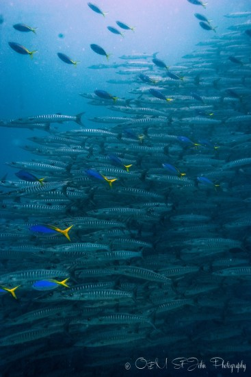 School of Barracuda. Diving in Sipadan Island, Sabah. Malaysia. Borneo