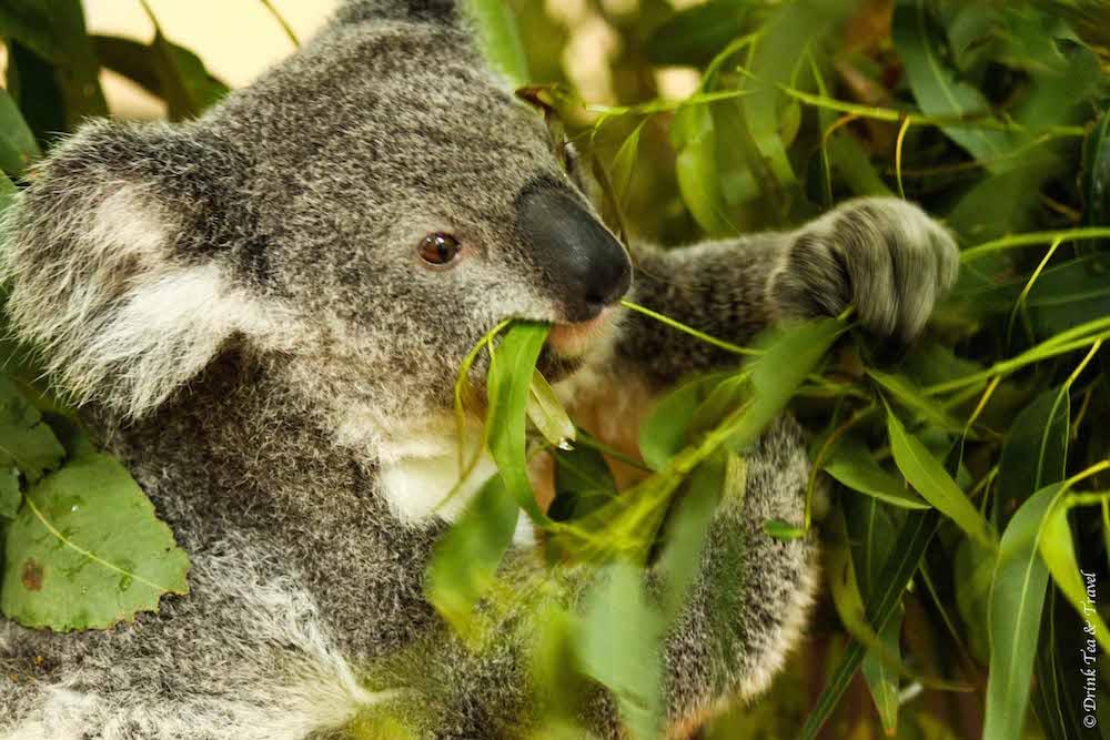 australia travel tips: Koala in Lone Pine Koala Sanctuary