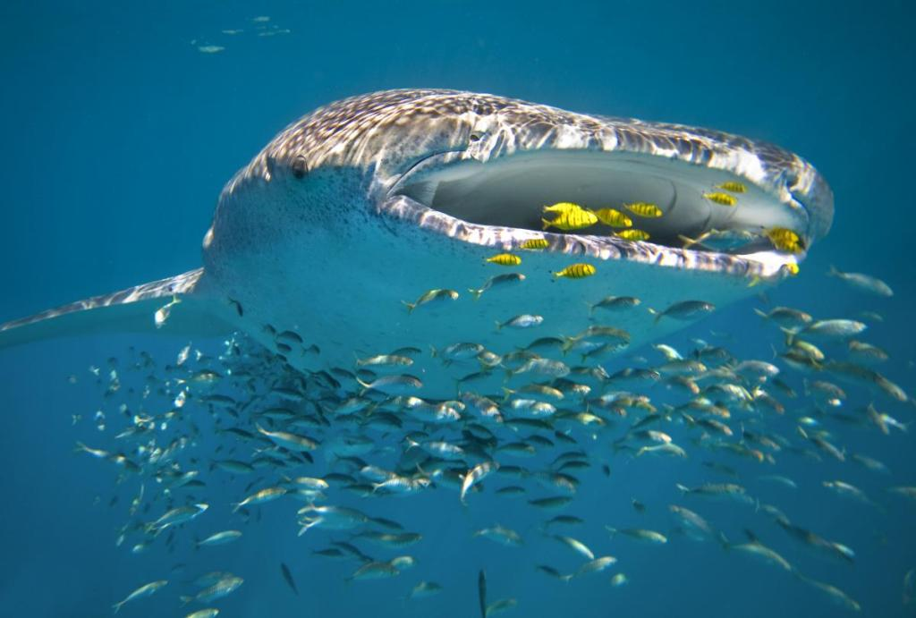 Whale Shark at Ningaloo Reef in Western Australia