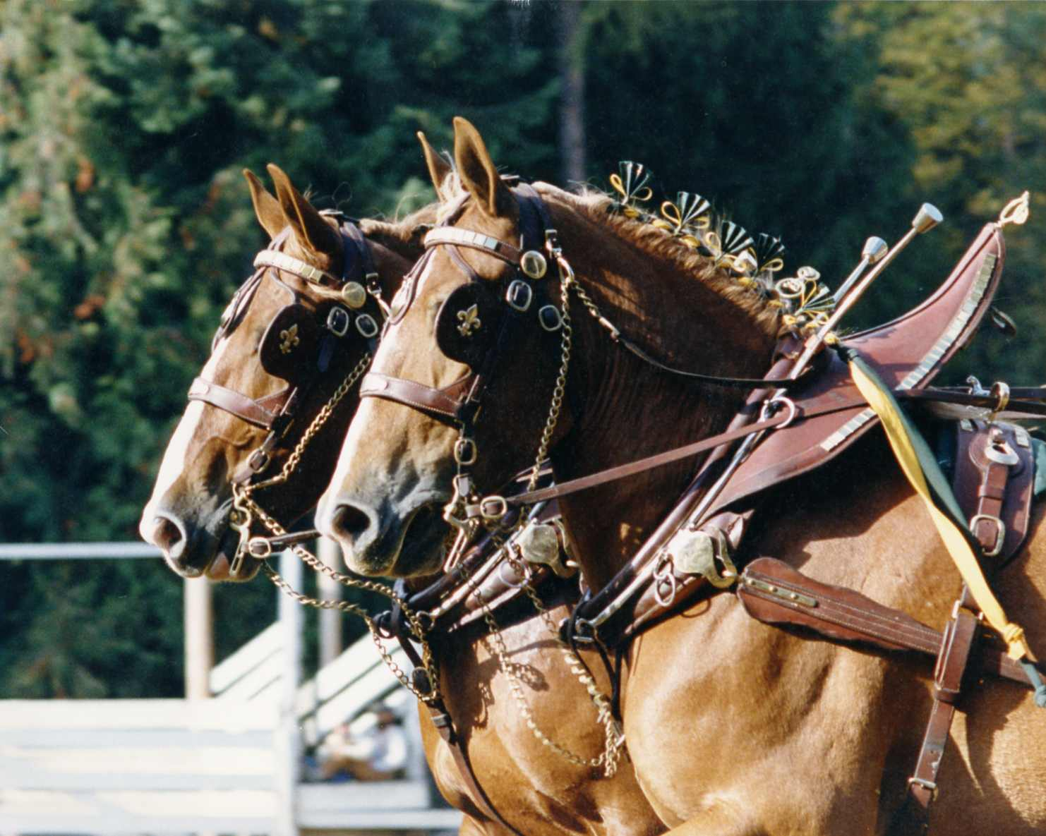 Harness – Fraser of Driving