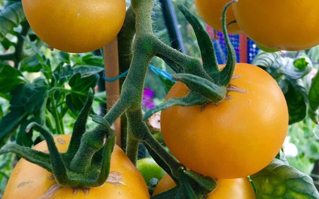 Lag din egen tomatketchup