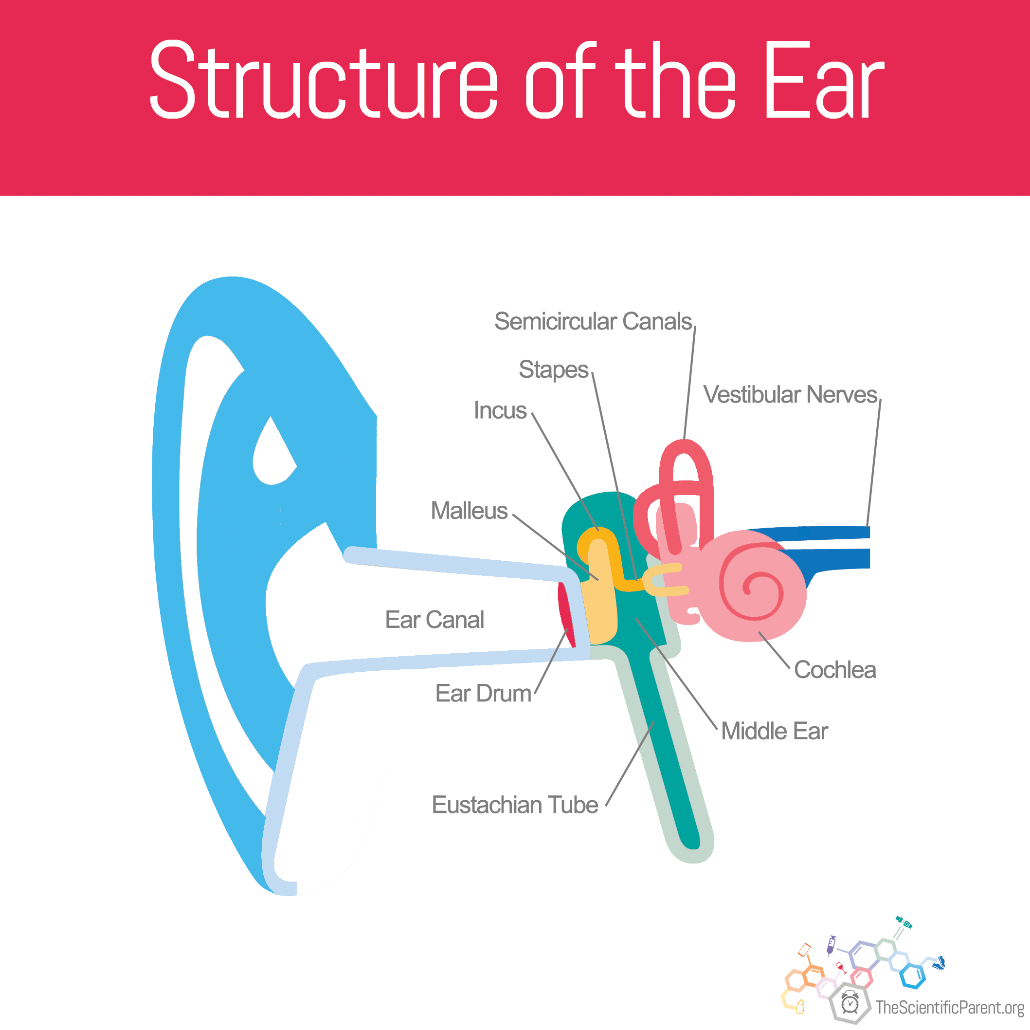 diagram ear for kids wiring diagram directory  diagram ear for kids #7