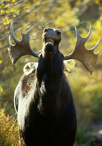 https://i0.wp.com/www.drlanders.com/WebGallery/My_First_Gallery/2007_6_18_moose.jpg
