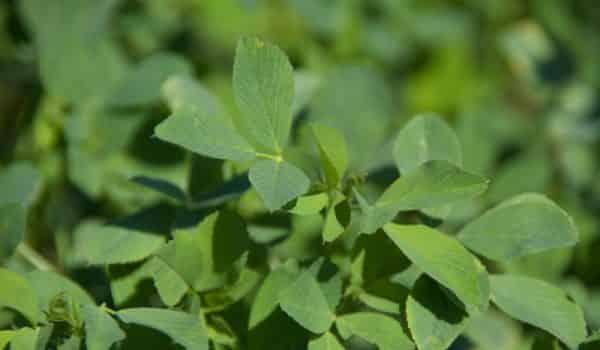 Alfalfa Used For Hair fall And Hair Growth