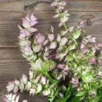 Clary Sage Feature