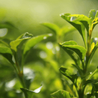 Tea-Tree-Essential-Oil-Uses-and-Benefits-f