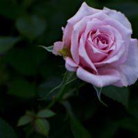 rose-1490486_1920