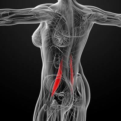 Image result for psoas muscle