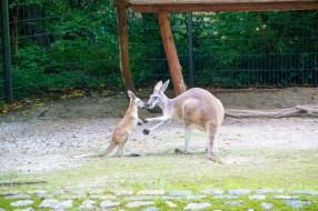 Berlin, Zoo, Kängurus