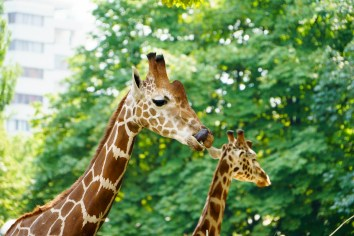 Berlin, Zoo, Giraffen