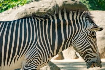 Zebra im Zoo Berlin
