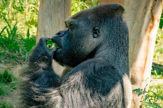 Gorilla im Zoo Berlin