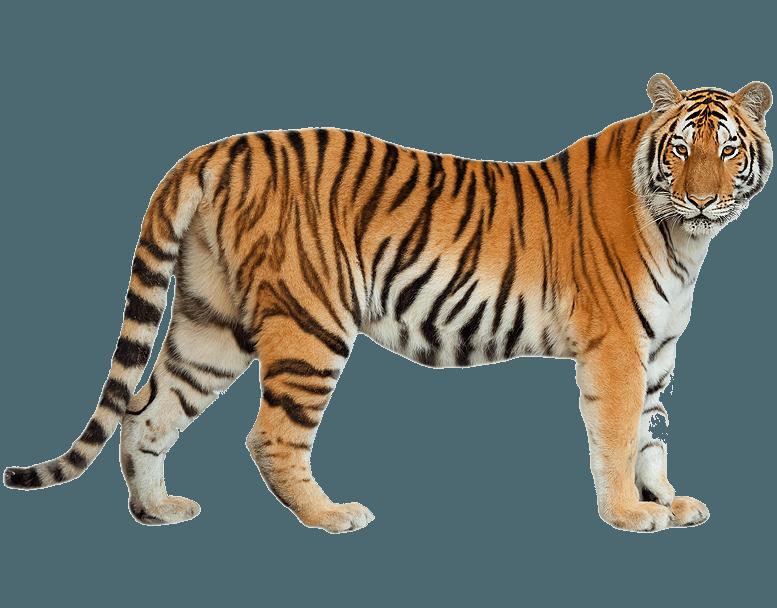 Corpo Bambino Da Colorare: Tigre Disegni Per Bambini Da Colorare