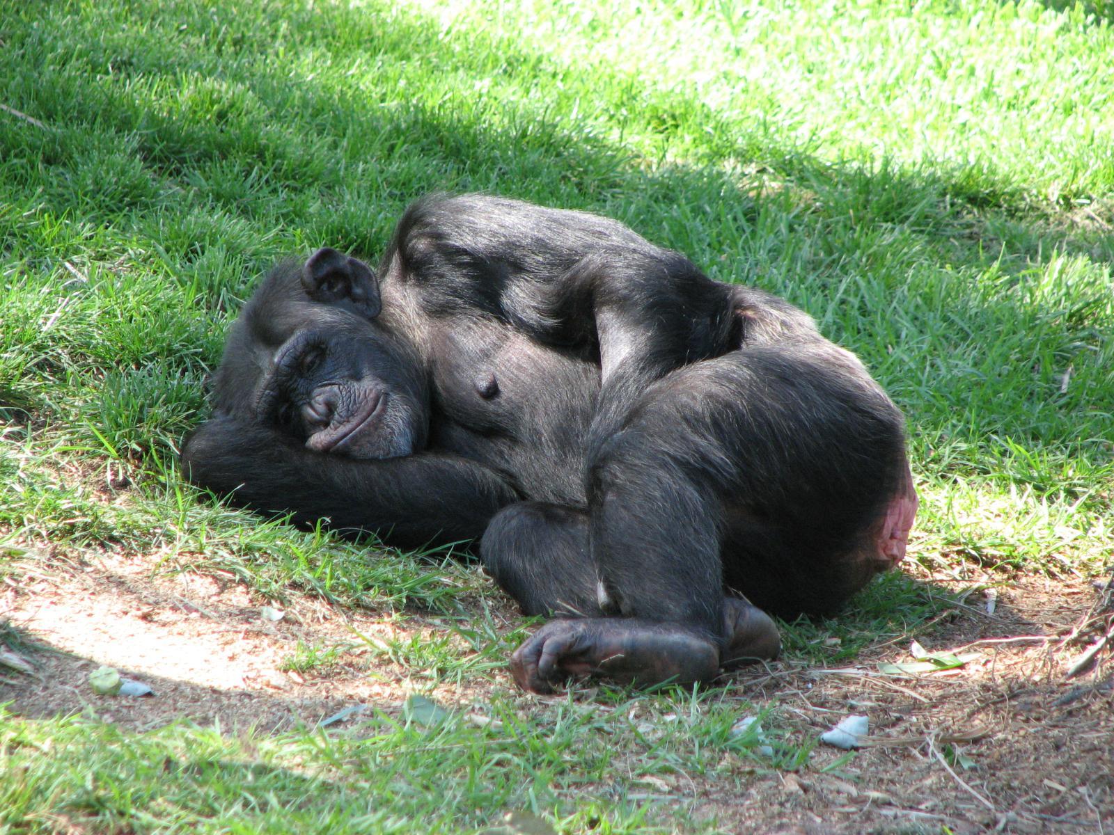 Chumpanzee At Taronga Zoo, purpleairplane March 21, 2009