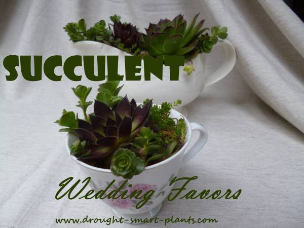 Succulent Wedding Favors  delightful little mementos for your wedding guests