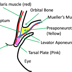 Parts Of The Eyelid Diagram Directory Tree Dog Eye Get Free Image About Wiring