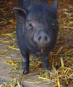 adult pig