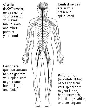 Peripheral Nervous System, Nervous System, Autonomic
