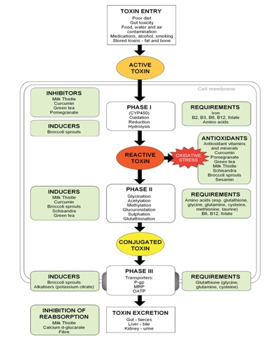 Terry willard the liver our great alchemist part 2 liver detox chart3 phases ccuart Choice Image