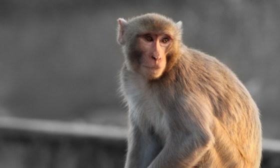Rhesus macaque - Alzheimer's model