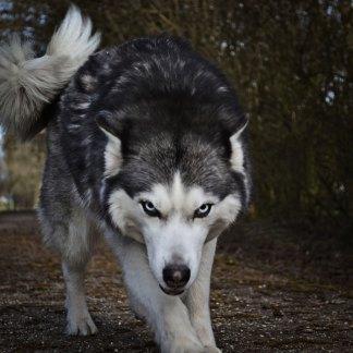 Spirituelles Krafttier Wolf