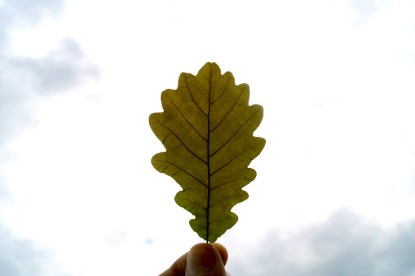 Eichenblatt im Licht