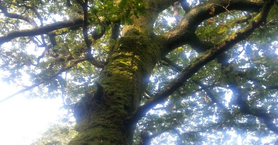 Chêne glorieux de Beltaine
