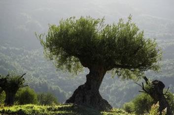 Olive Firewood