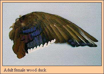 Duck Identification Using Wing Plumage