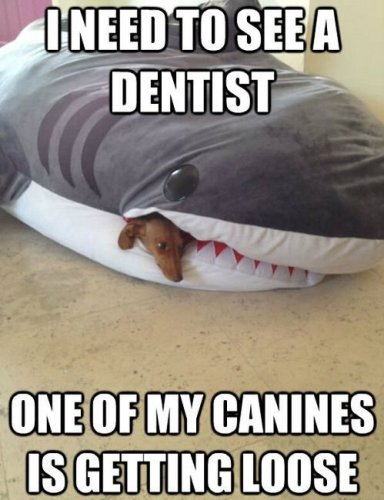 I need to see a dentist one of my canines is getting loose 384x500 I need to see a dentist   one of my canines is getting loose
