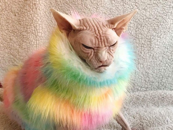Angry Color Cat Angry Color Cat