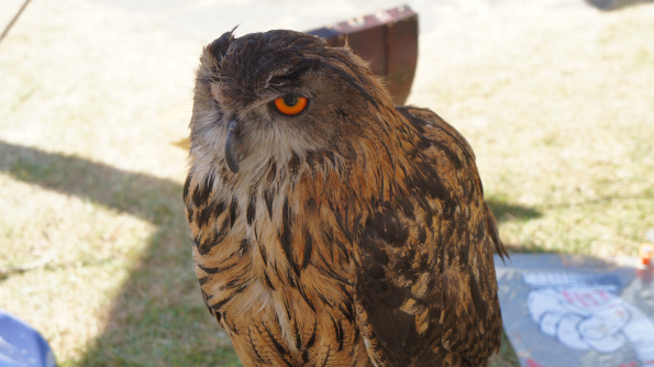 owl of Conwy