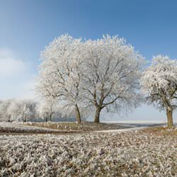 Trees with snow in field