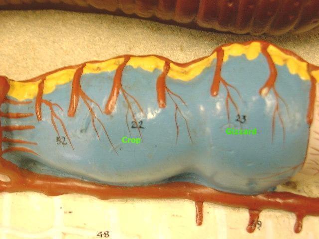 General Biology 2 Lab Practical Earthworm Model