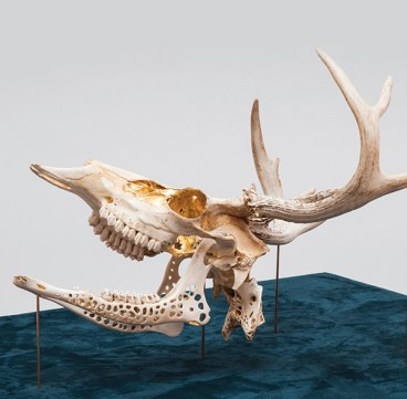 """Part of the series """"Cure,"""" this deer skull— its interior gilded with gold—was featured in an installation at Faulconer Gallery in Grinnell."""