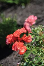 Coral carpet roses (Rosa x 'Noala') are Linda Baker's favorite flower.