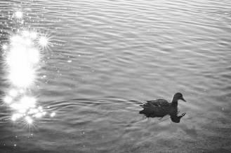 Canard sur le lac d'Aydat