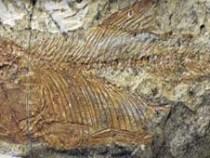 Fóssil de peixe 'europeu' é encontrado no interior da Bahia