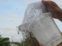 Dengue: Bahia expande projeto do Aedes transgênico