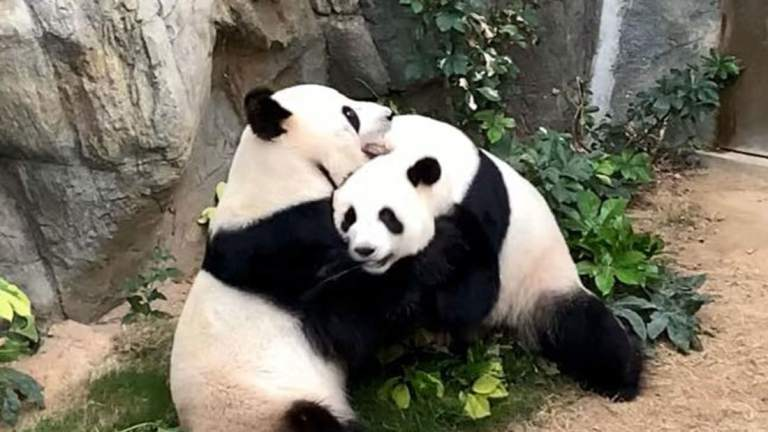 Pandas mate after 10 years