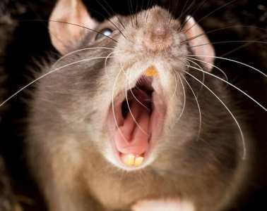 Cannibal rats on the rise due to Coronavirus