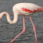 Flamingo Bird In Ras Al Khor Santuary Image