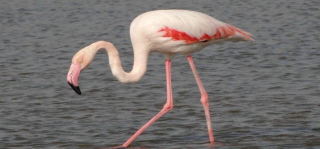 Flamingo Bird In Ras Al Khor Santuary Image
