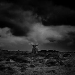Highland cattle - Isle of Islay, Scotland