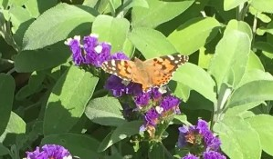 Butterfly on purple statice