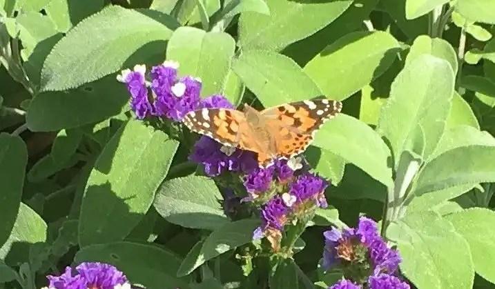 Butterfly on purple statice