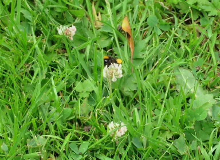 Bumble bee on clover in June